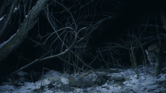 full shot of a cougar walking past the carcass of a white-tailed deer at night - white tailed deer stock videos & royalty-free footage