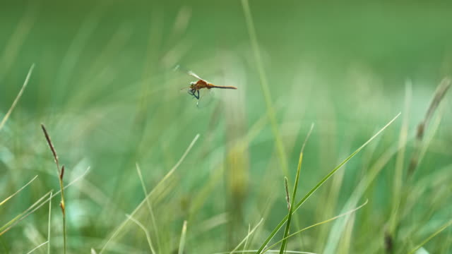 full shot of a dragonfly grabbing insect in mid-air - 昆虫点の映像素材/bロール