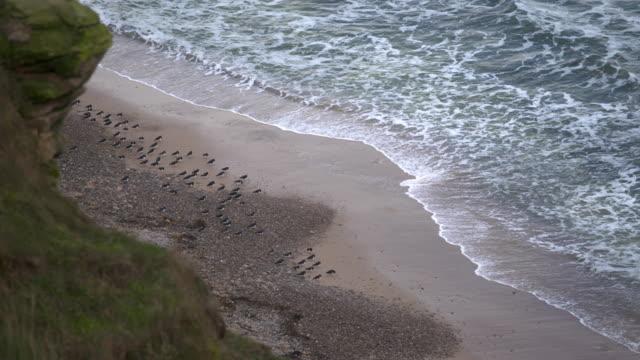full shot of a flock of eurasian oystercatcher on the seaside - ミヤコドリ点の映像素材/bロール