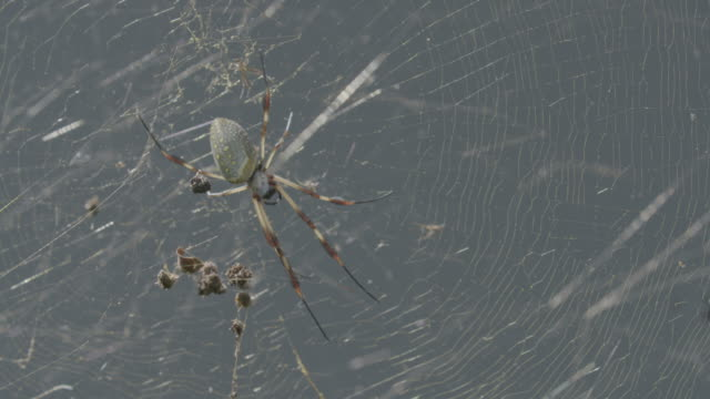 full shot of a golden silk spider in a spider web - animal abdomen stock videos and b-roll footage
