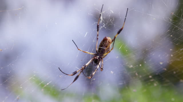 full shot of a golden spider in the web - animal abdomen stock videos and b-roll footage