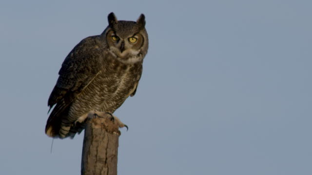 full shot of a great horned owl taking off a tree stump - owl stock videos & royalty-free footage