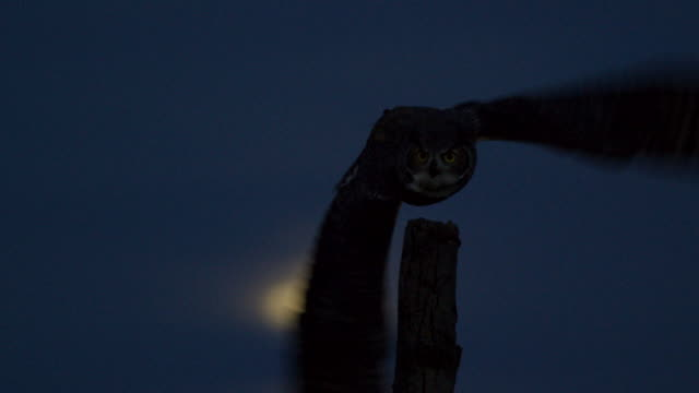 full shot of a great horned owl taking off from a tree stump with the moon in the background - bird of prey stock videos & royalty-free footage