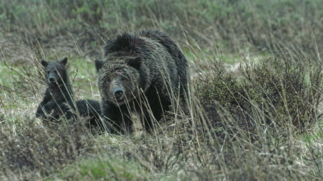 full shot of a grizzly sow with two cubs walking in the meadow - wyoming stock videos & royalty-free footage