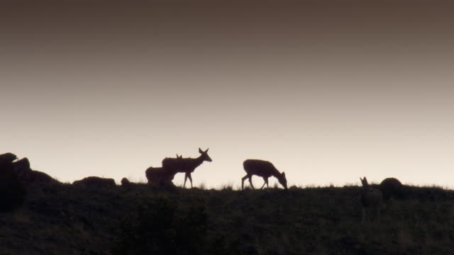 full shot of a group of mule deer walking on the top of the hill at sunset - mule stock videos & royalty-free footage