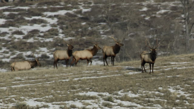 full shot of a herd of elk in the yellowstone national park - antler stock videos & royalty-free footage