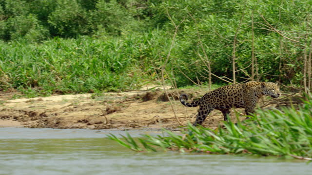 full shot of a jaguar attacking a capybara family on the riverbank - rodent stock videos & royalty-free footage