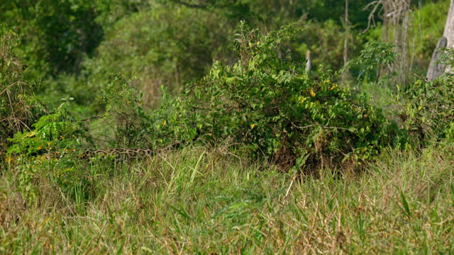 full shot of a jaguar leaving scent in the tall grass - south america stock videos & royalty-free footage