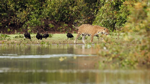 full shot of a jaguar walking on the lakeside with black vultures around - scavenging stock videos & royalty-free footage