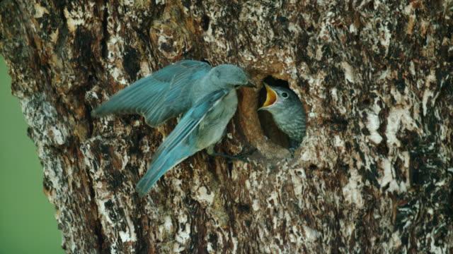 full shot of a mountain bluebird feeding grown chicks in the tree cavity nest - yellowstone nationalpark stock-videos und b-roll-filmmaterial