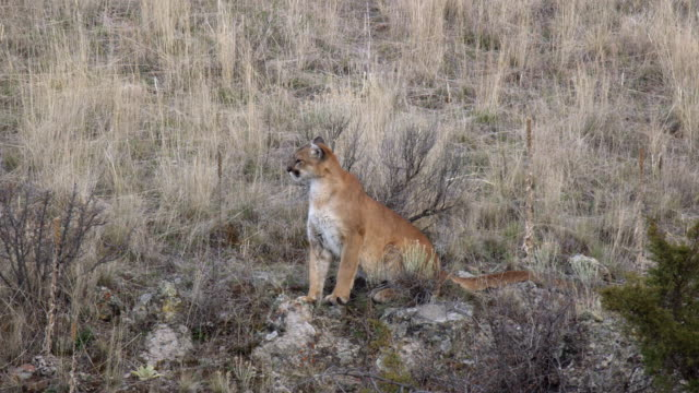 full shot of a mountain lion sitting in the grass - mountain lion stock videos & royalty-free footage