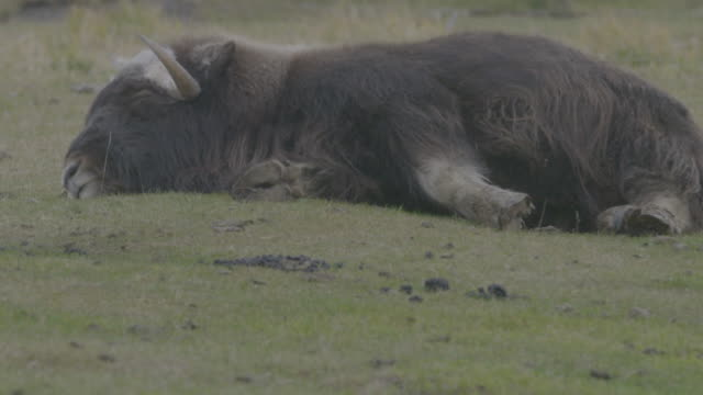 stockvideo's en b-roll-footage met full shot of a muskox lying on the ground in the arctic national wildlife refuge - arctic national wildlife refuge