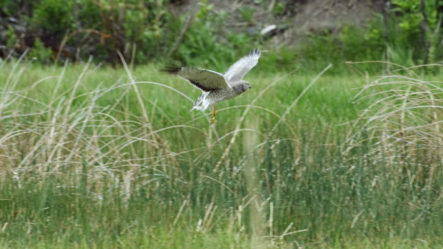 full shot of a northern harrier hunting above the long grass - hovering stock videos & royalty-free footage