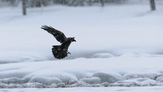 full shot of a raven flying in the snowfall - snow stock videos & royalty-free footage