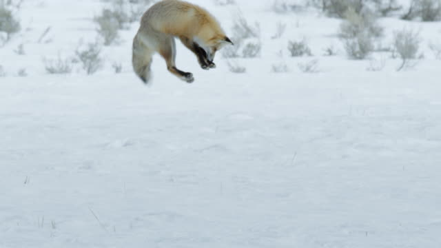 full shot of a red fox pouncing headfirst into the deep snow - hunting stock videos & royalty-free footage