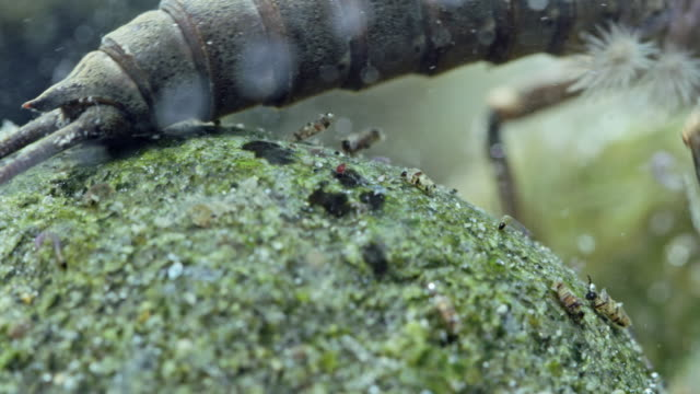full shot of a salmon fly walking underwater - herbivorous stock videos & royalty-free footage