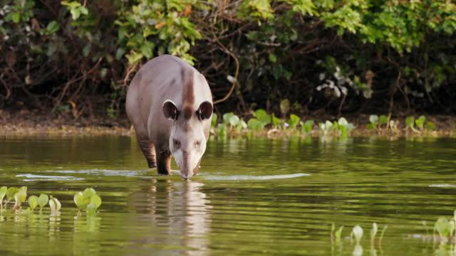 full shot of a tapir wading into the lake - herbivorous stock videos & royalty-free footage