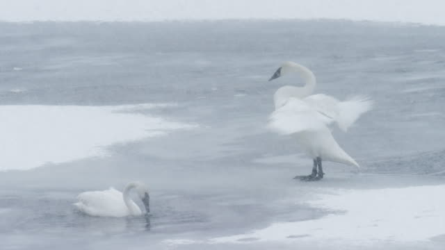 vidéos et rushes de full shot of a trumpeter swan standing and flapping wings on the ice and another one floating on the water - cygne