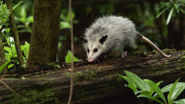 full shot of a virginia opossum climbing and sniffing on a fallen tree - beuteltier stock-videos und b-roll-filmmaterial