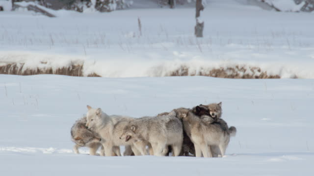 full shot of a wolf pack socializing - wyoming stock videos & royalty-free footage