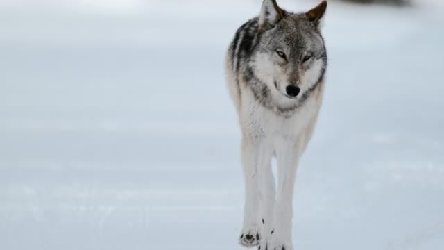 full shot of a wolf walking - mammal stock videos & royalty-free footage