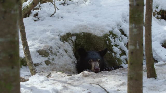full shot of an american black bear crawling back to the den - evergreen stock videos & royalty-free footage
