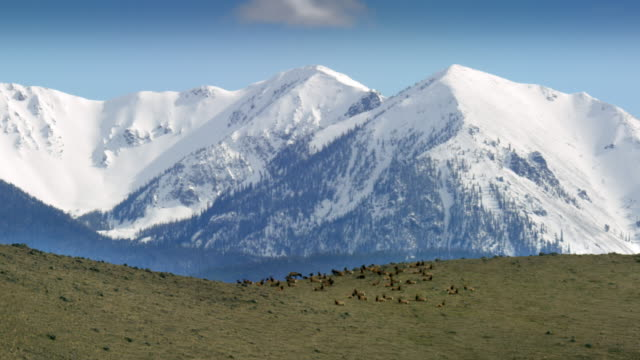 full shot of an elk herd resting on the mountain ridge in paradise valley - wapiti stock videos & royalty-free footage