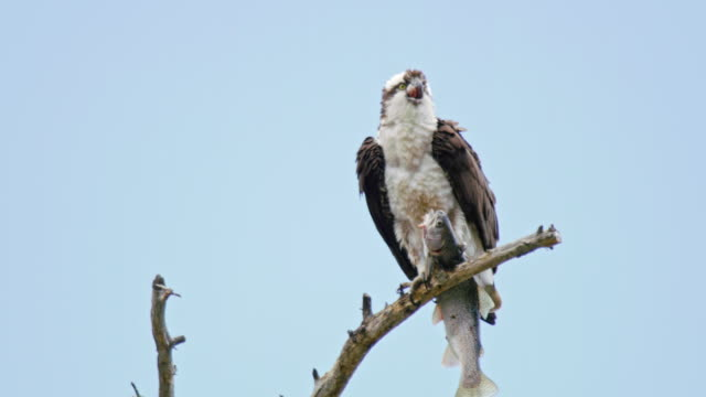 full shot of an osprey eating a fish on a tree - bird of prey stock videos & royalty-free footage