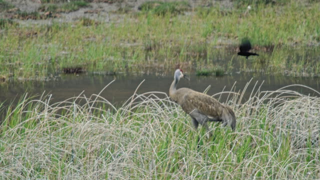 full shot of red-winged blackbirds pestering a crane - red winged blackbird stock videos & royalty-free footage