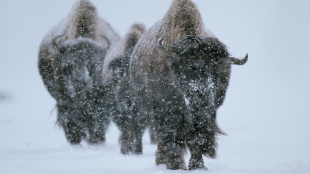full shot of three bison walking in the heavy snowfall - wyoming stock videos & royalty-free footage