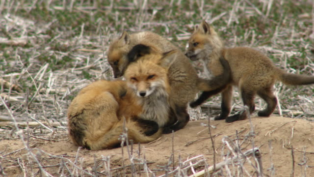 vídeos de stock e filmes b-roll de full shot of two american red fox kits teasing their mom - família animal