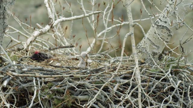 full shot of two bald eagle chicks in the nest - bird of prey stock videos & royalty-free footage