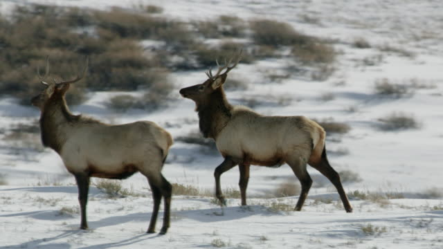 full shot of two elks standing on the top of the hill - antler stock videos & royalty-free footage