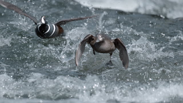full shot of two harlequin ducks landing on river - river yellowstone stock videos & royalty-free footage