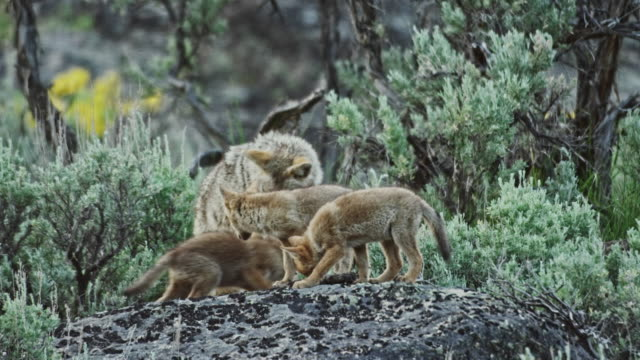 full shot of wolf pups playing and teasing the mother wolf - yellowstone nationalpark stock-videos und b-roll-filmmaterial