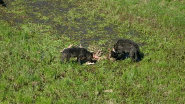full shots of wolves eating a deer carcass in the hayden valley - yellowstone national park stock videos & royalty-free footage