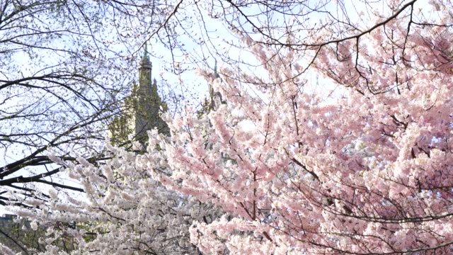 full-bloomed cherry blossoms are shaking by wind and illuminated by sunlight at central park new york usa on apr. 21 - remo stock videos and b-roll footage