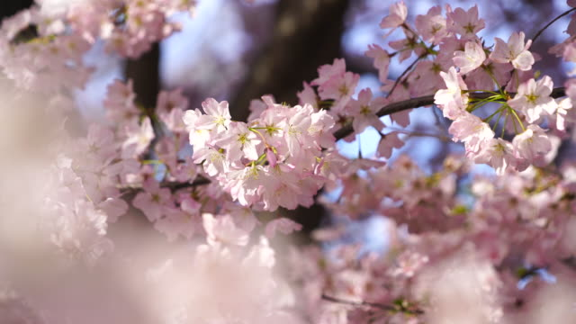 full-bloomed cherry blossoms are shaking by wind and illuminated by sunlight at central park new york usa on apr. 21 - cherry tree stock videos & royalty-free footage