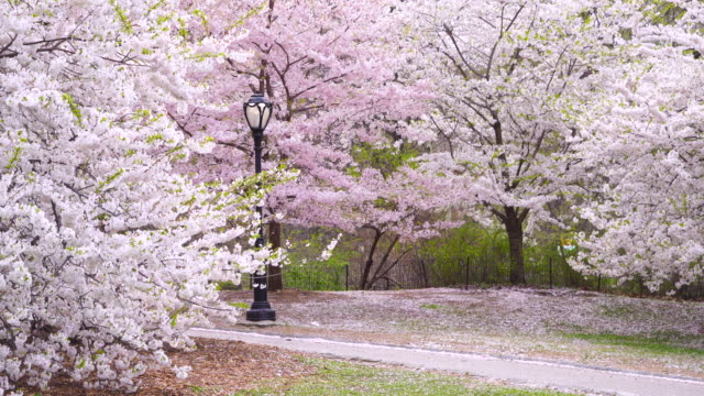 Full-bloomed Cherry blossoms surround a streetlight at the footpath, which Cherry blossoms are shaking by wind and petals are fluttering to the air at Central Park New York USA on Apr. 24 2018.