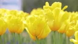 Full-blooming Tulip in yellow swaying in wind. Full-bloom.