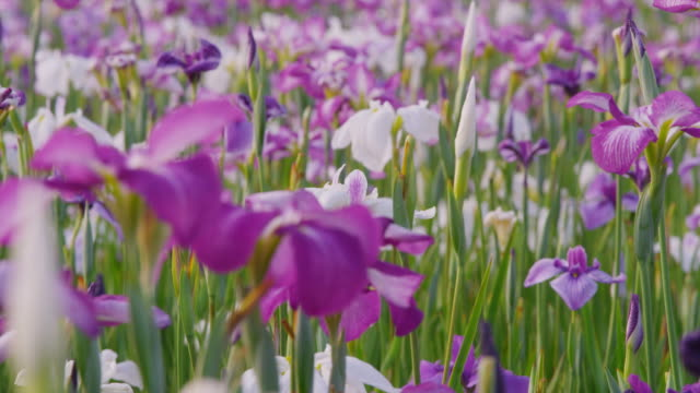 fully blooming iris on the field - iris plant stock videos & royalty-free footage