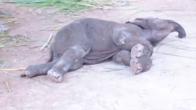 vidéos et rushes de fully grown elephants may be known for their strength and dignity, but their young can rival kittens in the cute stakes. while holidaying in chiang... - mignon