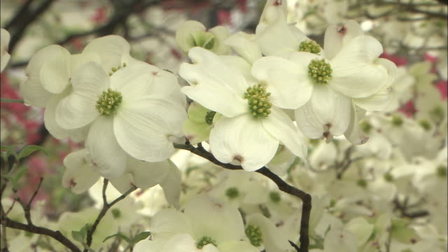 fully open white bloom of flowering dogwood tree, koshu, yamanashi - dogwood stock videos & royalty-free footage