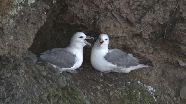 fulmars (fulmarus glacialis) nest in individual hollows on upper cliffs, dinas head, west wales - ウェールズ文化点の映像素材/bロール