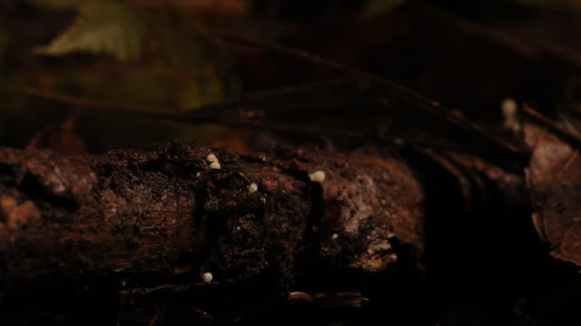 fungi sprouts from a rotting log where crickets scurry back and forth. available in hd. - log stock videos & royalty-free footage