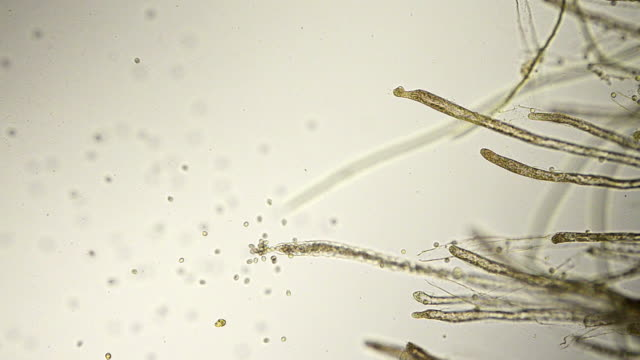fungus spores micrograph - fungal mold stock videos & royalty-free footage
