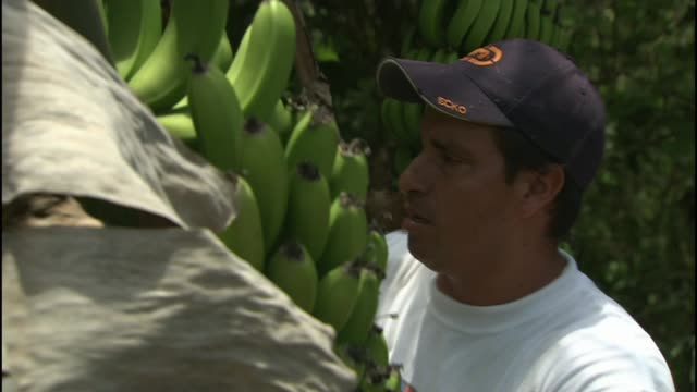 fungus threatens the world's most popular banana r11030917 / 1132009 galapagos islands santa cruz island ext various of farmer harvesting crop of... - itv news at ten stock-videos und b-roll-filmmaterial