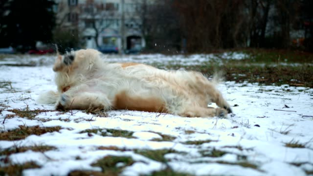 funny and cute golden retriever dog rolling over on the snow outdoors - roll over stock videos and b-roll footage