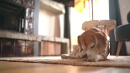 Funny beagle dog lying on the living room carpet, licking its front paw and then washing with paw a snout. Cute pets at home 4K UHDTV concept footage.