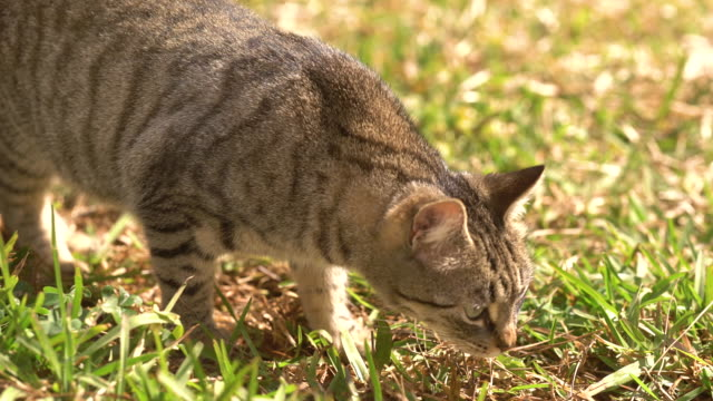 vídeos y material grabado en eventos de stock de funny cat in the garden lying and looking to the camera - comportamiento de animal